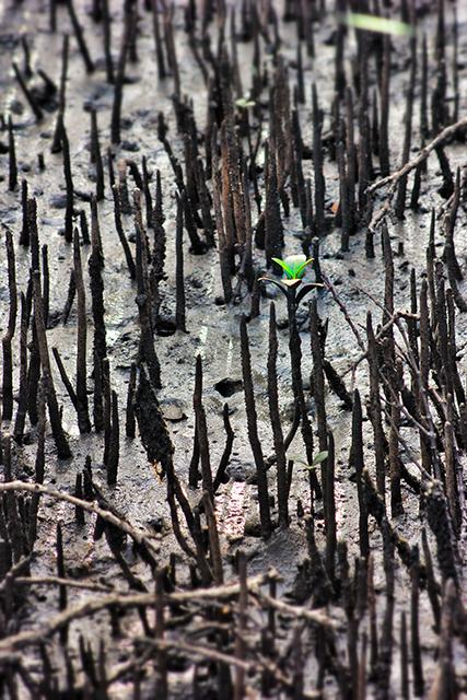 640 mangrove.jpg
