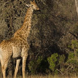 Giraffe by David Botha - Animals Other Mammals ( mammal, nature, giraffe, long, wildlife )