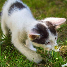 discovering the world by Dominik Lalic - Animals - Cats Kittens ( smell, playing, white flower, game, flowers, discovery, flower, playtime,  )