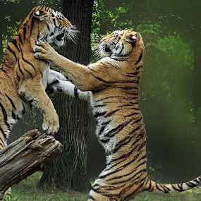 Dance with Me by John Larson - Animals Lions, Tigers & Big Cats ( bronx zoo, amur tiger, sparring tigers, larson, wcs )