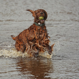 Red Setter by David Parkin - Animals - Dogs Playing ( red, red setter, setter, irish setter, dog, splash, water )