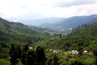 Photo: Year 2 Day 115 - Fantastic View of Boh Tea Estate from the Viewpoint