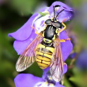 Hoverfly - Chrysotoxum sp. 3.JPG