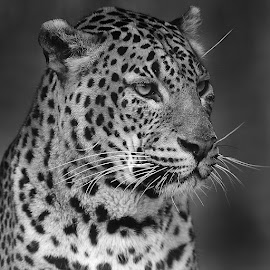 Sri Lanka panther by Gérard CHATENET - Black & White Animals