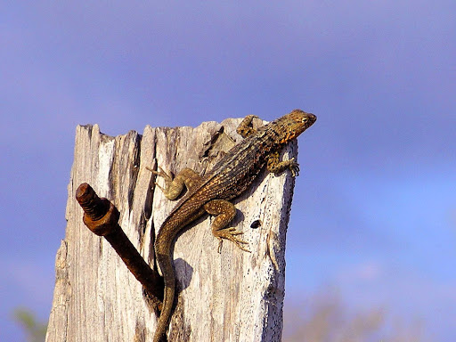 A lava lizard on a post in the Galápagos.