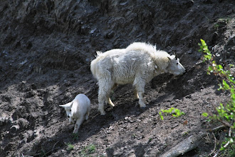 Photo: Mountain Goat am Highway 16
