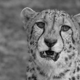 Cheetah by Garry Chisholm - Black & White Animals ( nature, mammal, big cat sanctuary, cheetah, garry chisholm )