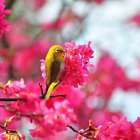 Japnese White Eye by Vinay Tyagi - Animals Birds