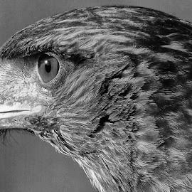 Eagle in Black and White by Ana Paula Filipe - Black & White Animals ( bird, eagle, black, animal, portrait )