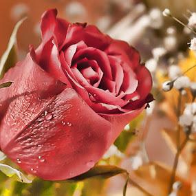 Una rosa by Giovanni Bartolomeo - Nature Up Close Flowers - 2011-2013 ( giobbyx )