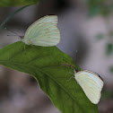 Great Southern White