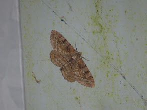 Photo: 15 Jul 13 Priorslee Lake: A Mottled Beauty moth: very similar to the Willow Beauty seen last week, best separated by the cross-lines staying separate whereas on Willow Beauty two of the lines come together to form a dark area close to the body. Also new for the year. (Ed Wilson)