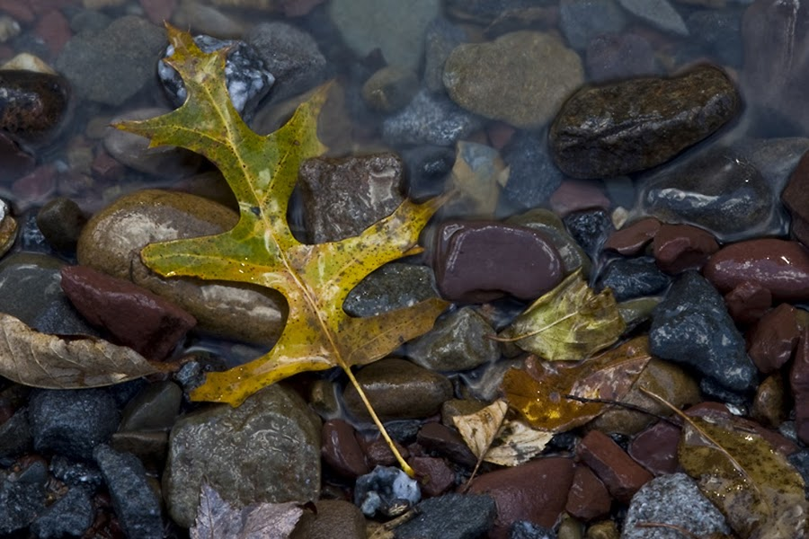 Stuck on the Stones by Rod Schrader - Nature Up Close Leaves & Grasses ( fall leaves on ground, fall leaves, leaf )