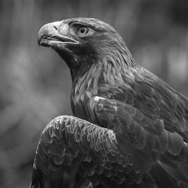 Goldie by Garry Chisholm - Black & White Animals ( bird, garry chisholm, nature, black and white, wildlife, prey, raptor )