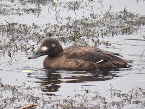 Photo: 30 Jan 14 Priorslee Lake This shows the very different bill-shape of the duck Velvet Scoter. Also shows the white mark on the cheek, now far more prominent than when the bird was first found. (Ed Wilson)