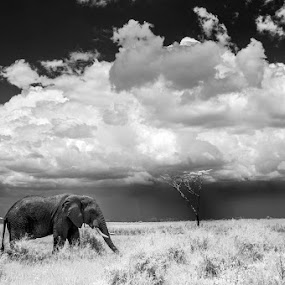 Follow rivers by Lara Zanarini - Animals Other Mammals ( mammals, animals, elephant, white, lara, africa, tanzania, black, zanarini, black and white, b and w, landscape, b&w, monotone, mono-tone )