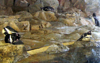Photo: Humboldt penguins a long way from home, --- but not unhappy