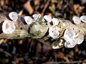 Photo: Two-toned Parchment (Laxitextum bicolor) on alder, 11.18
