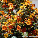 Arbusto de fuego o conserva
