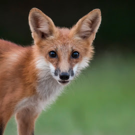 Red Fox by Pennye Thurmond - Animals Other Mammals ( red, face, nature, eyes, fox,  )
