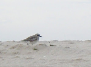 Photo: Black-bllied plover in winter plumage.