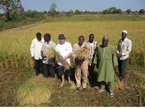 Photo: Farmers in CODEGAZ/AMAPAD SRI project in Bama, Burkina Faso harvesting rice. Yields with SRI were up to 70% higher with SRI. 2012.  [Photo courtesy of Alain Oscar]