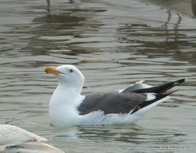 Photo: Adult Western Gull; northern San Diego County coast