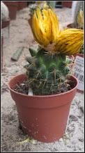 Photo: Cactus - de pe Str. Stefan cel Mare, Nr.19, Magazin Dedeman - 2018.04.13