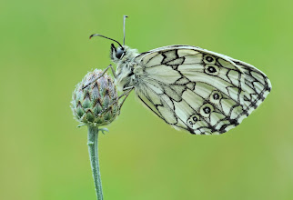 Photo: 'The butterfly counts not months but moments, and has time enough' /Rabindranath Tagore/ ====================================== Demi-Deuil, Melanargia Galathea, Marbled White