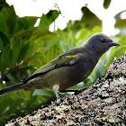 Sanhaçu-de-encontro-amarelo(Golden-chevroned Tanager)