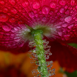 Under The Poppy by Lynne McClure - Nature Up Close Natural Waterdrops ( water, water drops, nature, macro photography, poppy, refraction, flower )
