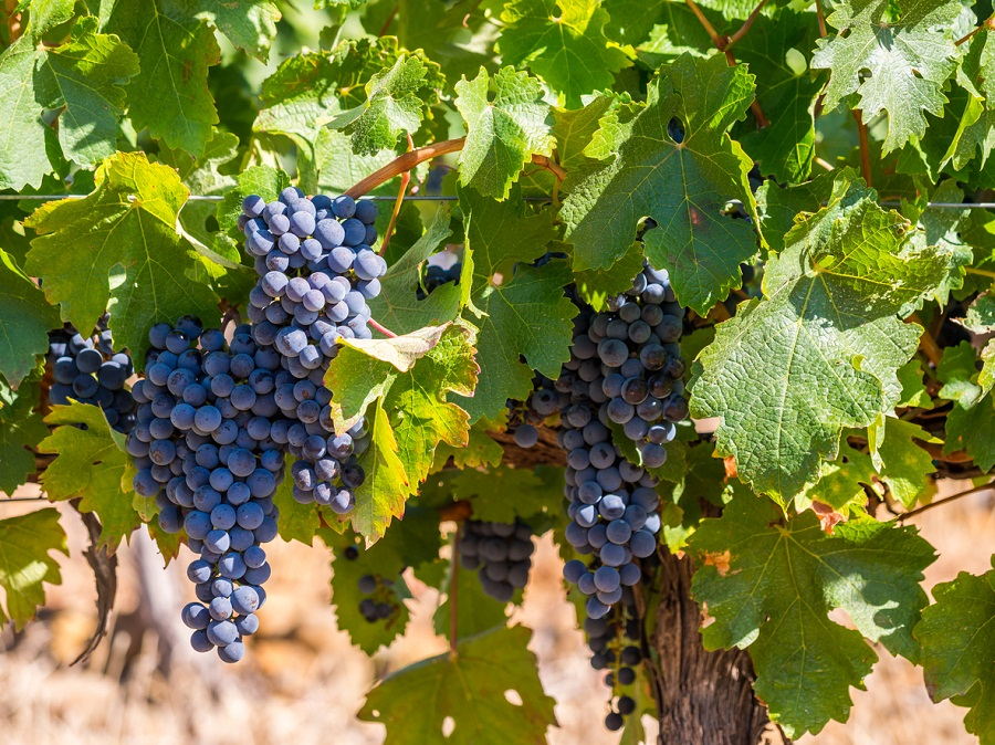 Wine grape producers are struggling to make a profit