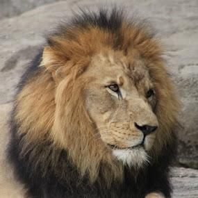 by Rebecca Mosher-Schmidt - Animals Lions, Tigers & Big Cats