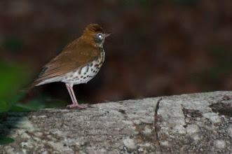 Photo: Wood Thrush (Walddrossel); Bacalar, QROO