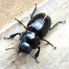 Shiny Stag Beetle