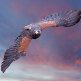 Meet Laredo, The Female Harris Hawk by Sandy Scott - Animals Birds ( animals, wildlife, harris hawk, birds, skies, hawk, predators, birds of prey, wings, sunset, hawk in flight, raptor, sunrise, falconry,  )