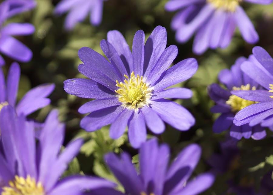 by Helen Bagley - Flowers Flower Gardens ( spring flower, purple, purple flowers, spring, flower, purple flower )