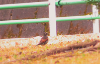 Photo: 撮影者:佐藤サヨ子 ツグミ タイトル:1年ぶりの団地で 観察年月日:2015年1月6日 羽数:1羽 場所:高幡台団地の庭 区分:行動 メッシュ:武蔵府中3H コメント:今朝は気温も高く気持ちよくウオーキングができて団地に戻って隣の庭を覘くと少し大きめの鳥がいた。確認するとツグミだった。
