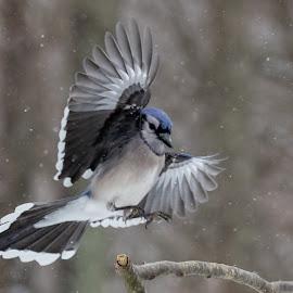 Blue Jay by Carl Albro - Animals Birds ( landing, blue jay, bird, flying, branch )