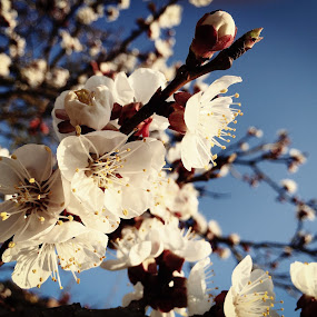 Apricot Blossoms by Helga Be - Nature Up Close Trees & Bushes