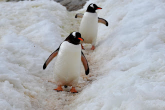 Photo: Pinguin highway (made by the penguins going from their roost to the sea and back)