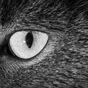 Eye of the predator by Claude Lupien - Black & White Animals ( cats, cat, black and white, grey, animal, eye )
