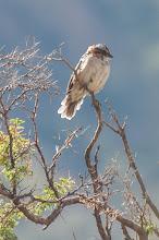 Photo: Rufous-collared Sparrow (Morgenammer)