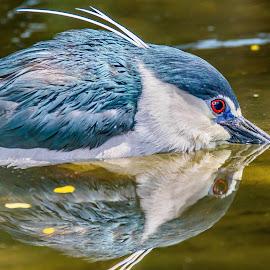 Im Bluey by Ken Nicol - Animals Birds (  )