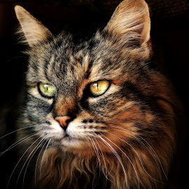 Staring by Chrismari Van Der Westhuizen - Animals - Cats Portraits ( cats, cat, pets, portrait, soft, eyes,  )