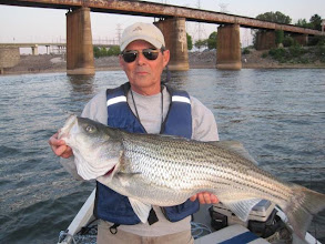Photo: April 10, 2012 - Norman Neel also caught a whopper striper while fishing with guide Sam Simons.
