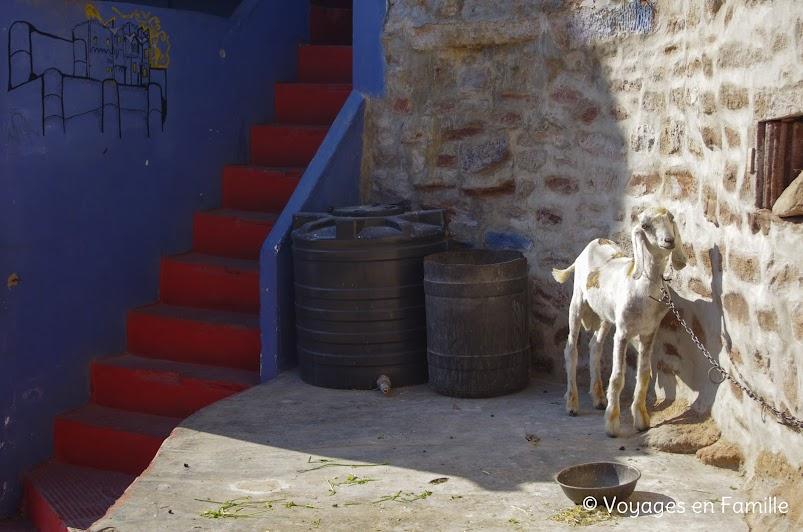 Chèvre Jodhpur