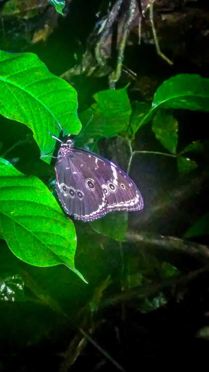butterfly in the Amazon Peru.jpg