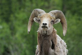 Photo: Bighorn Sheep am Highway 16