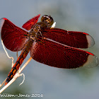 Ramburi Red Parasol